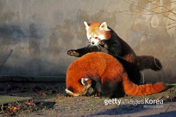 Red Pandas playing.